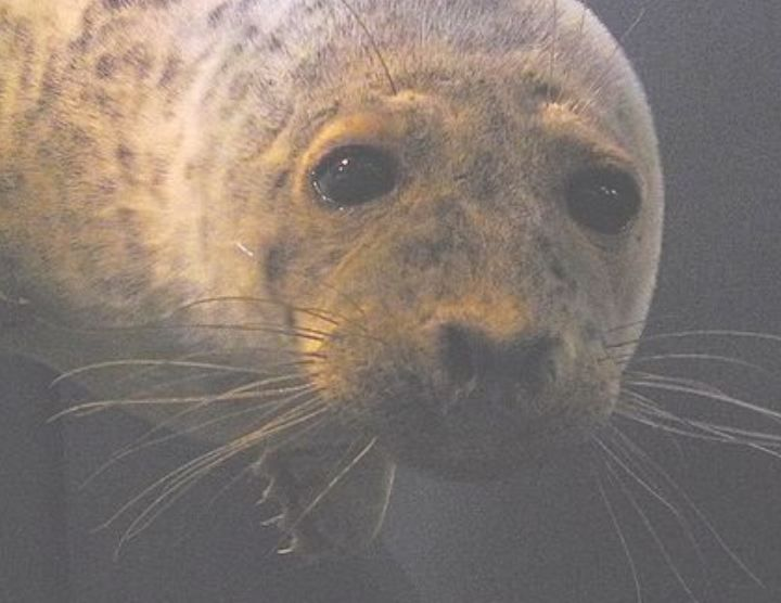 Saimaa ringed seal...Finland's Lake Saimaa is home to one of the world's rarest seals, the (Pusa hispida saimensis). Just 260 or so of these critically endangered animals remain in the freshwater lake