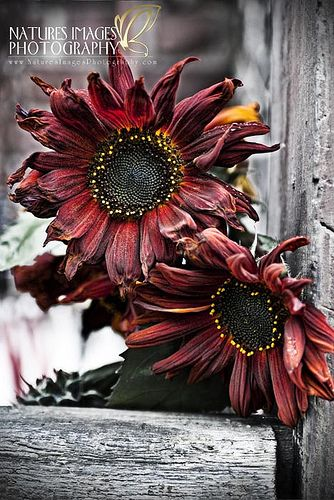 Red Sunflowers | Flickr - Photo Sharing!