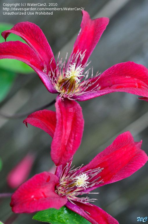 ~Picture of Scarlet Clematis 'Gravetye Beauty' (Clematis texensis)