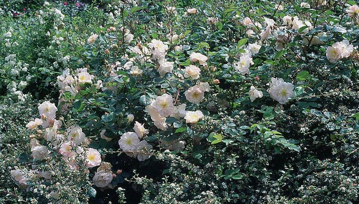 Penelope - Ludwigs Roses   (Hyb. Musk) Large trusses of creamy pink flowers, strong musk fragrance. Will flower continuously into Winter.