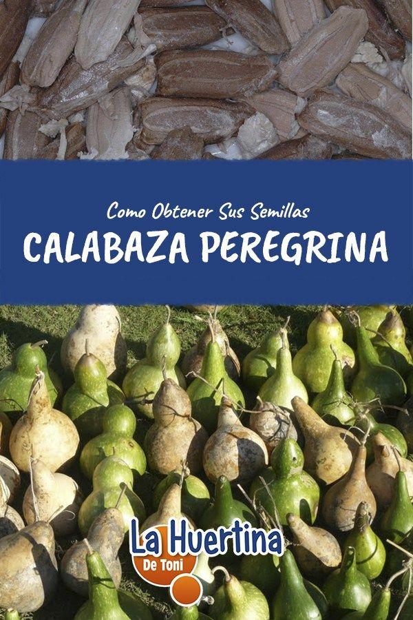 Como Conseguir Semillas De Calabaza Peregrina La Huertina De Toni Cultivo De Calabaza Semillas De Calabaza Semillas