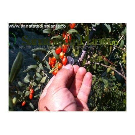 plante goji 20 centimeters