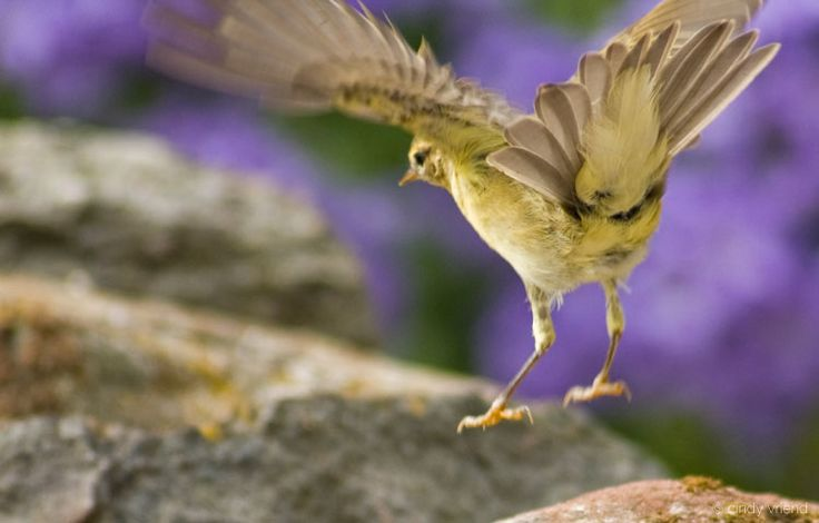Watching the elegance of the Willow Warbler