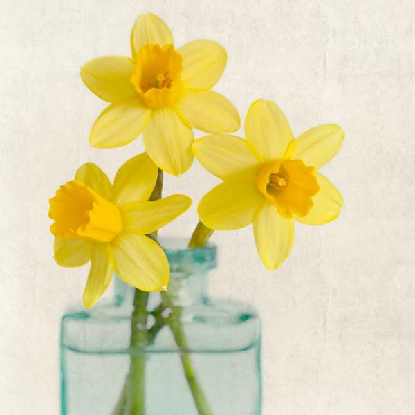 "Fine Art Flower Photography Print """"Yellow Daffodils No. 7"""""