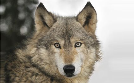Utah, Don't Give Anti-Wolf Group $300,000 Taxpayer Dollars