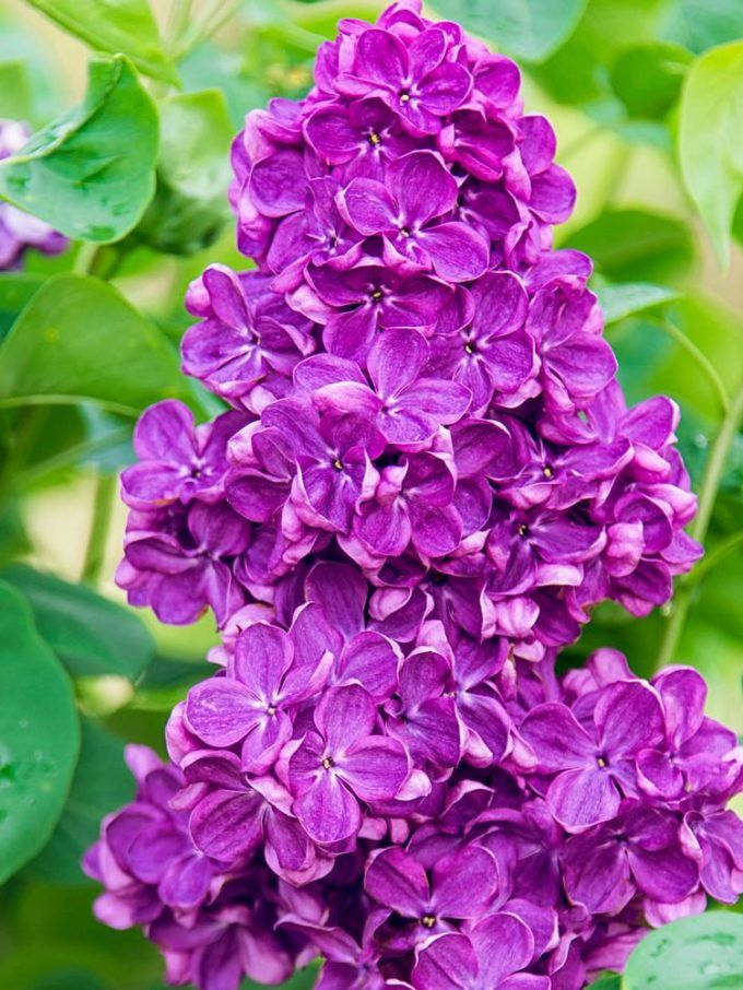Yankee Doodle Lilac Flowering shrubs, Plants with pink