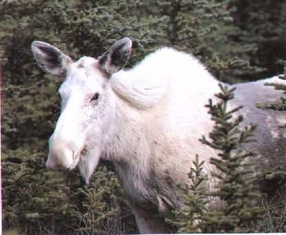 White Moose - I love the things nature can do that WE can't.