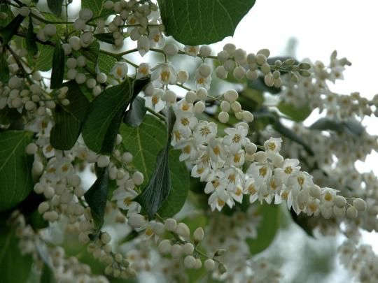Styrax Hemsleyana Chinese Snowbell Tree A Rare Native Of China And First Introduced