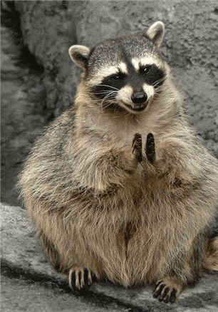 applause of a happy raccoon, animated gif image, animal clapping hands, snicker