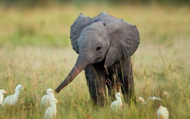 Baby Elephant Makes Friends With Birds