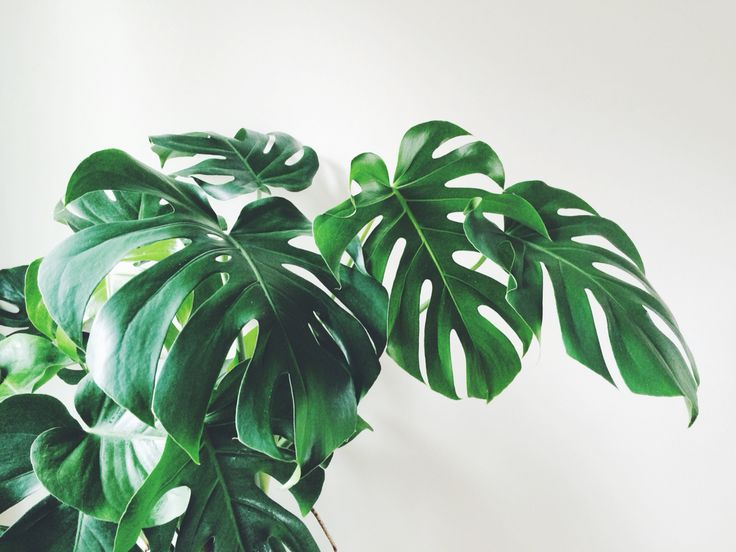 25+ Best Ideas About Philodendron Monstera On Pinterest
