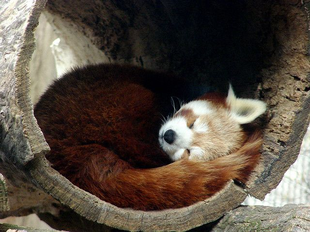 little fox sleeping