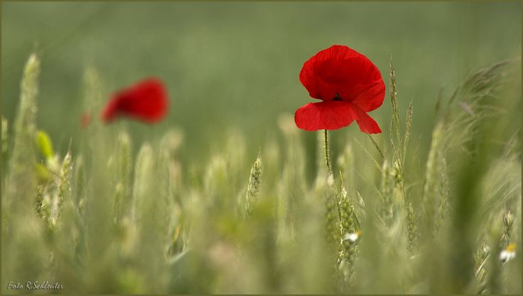 red poppy by Renate Schleuter on 500px