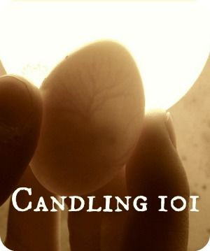 Candling - How DO you candle?  Do you need special equipment?  What exactly are you looking for in there? | The 104 Homestead