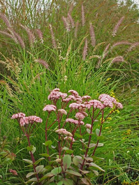 19 best images about garden sedum matrona on pinterest for Oriental grass