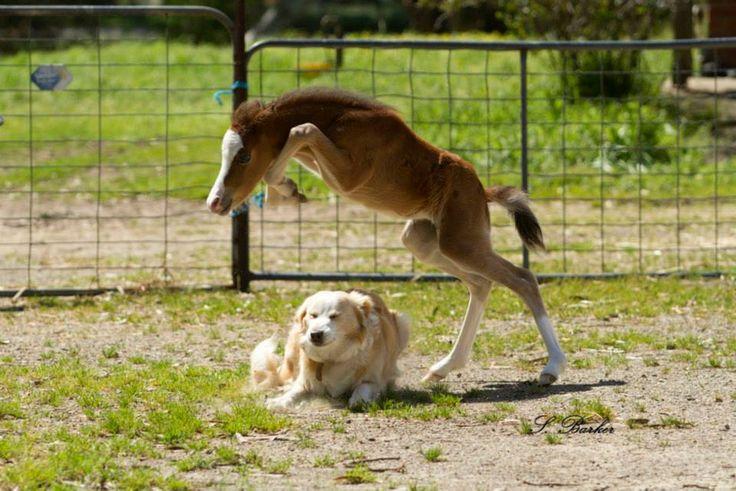 Horses jumping really high and falling