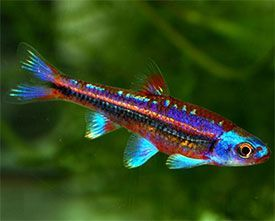 Notropis chrosomus - Rainbow Shiner