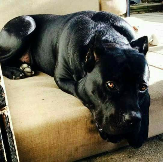 Black  Cane Corso. .beautiful beast!! Love the coat and color.