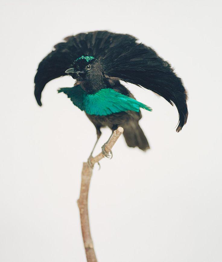 257 best Birds of Paradise images on Pinterest   Bird of paradise ...