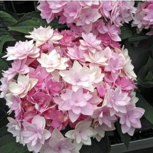 Hortensia Macrophylla You and Me ® Romance  - devant chambre Babi