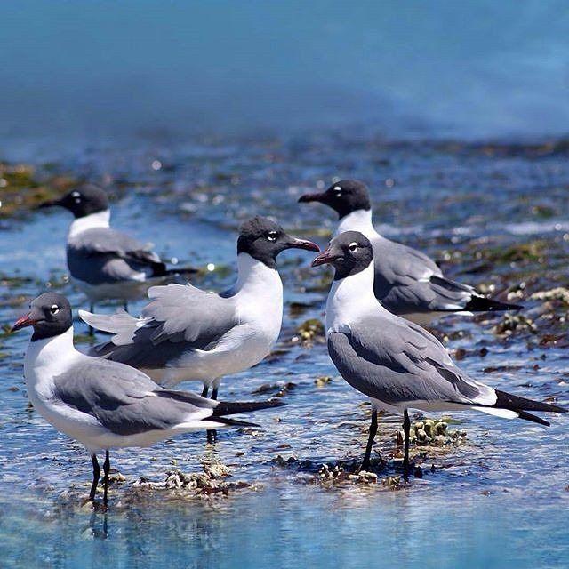 Guanaguanare es una de las aves más conspicuas y abundantes en nuestras costas. Con ese sonoro nombre los pescadores describen a una gaviota de cabeza negra cuerpo blanco y alas grises que bulliciosa a más no poder los recibe a su regreso a la costa para tratar de robar algún que otro pescado que caiga de las cestas del peñero.  En Los Roques resulta todo un espectáculo verlas en estas lides. Son ágiles rápidas y están pendientes de los movimientos de los peces cercanos a la orilla. Hacen…