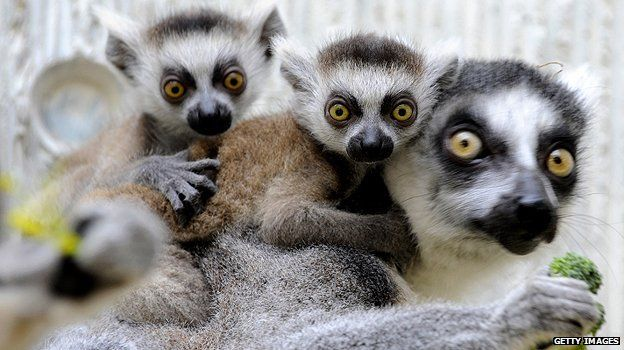 Ring-Tailed Lemurs in Madagascar | ... types of animals which exist nowhere else, such as ring-tailed lemurs