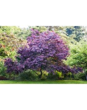 Cercis canadensis 'Forest Pansy' - Júdásfa