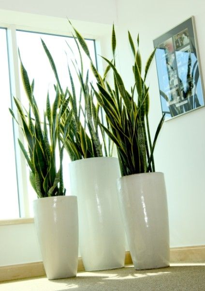 Sansevieria Laurentii in a 'nest' of polished white pots. Classic and classy.