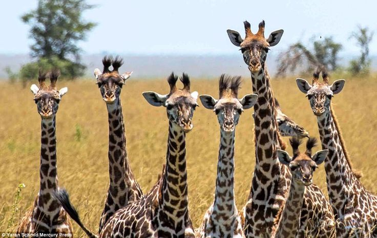 This perfectly timed photograph captures a group of curious giraffes looking directly at a...
