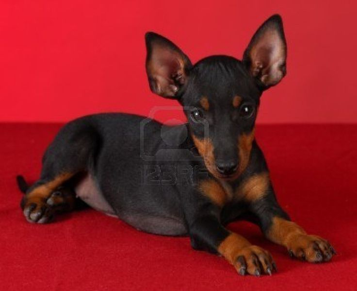 toy-manchester-terrier-puppy-laying-down-on-red-blanket-with-red-background.jpg