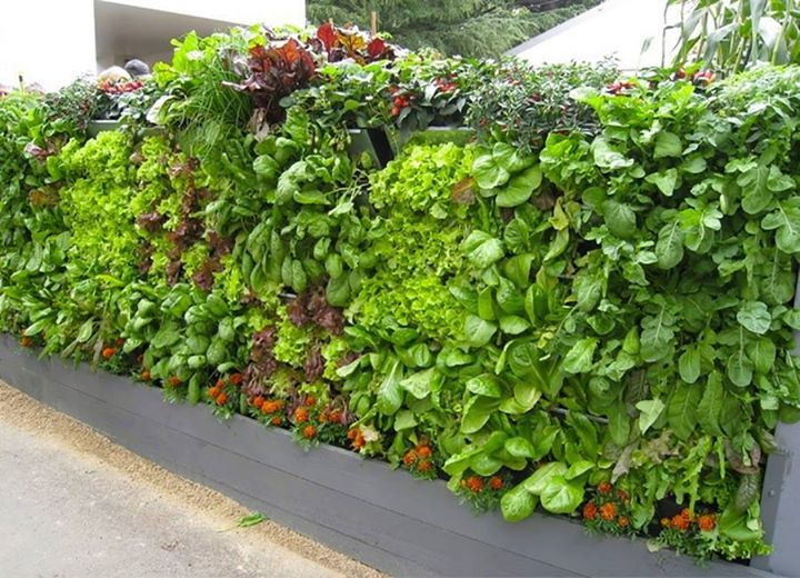 The edible plants in these vertical gardencan include what every you like for your salads. Goods Home Design has compiled a number of vertical salad gardens that you can implement…