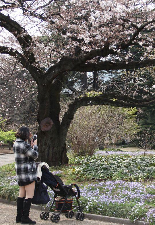 499:「桜の木の下に水色のハナニラがとてもきれいでした。 ベビーカーを止めてシャッターを切っている女性も、同じ思いですね。」@新宿御苑