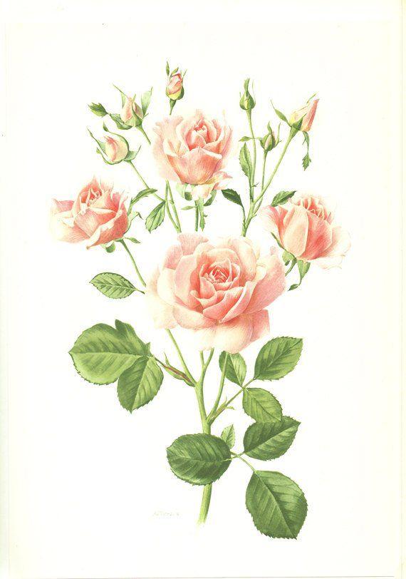 Pink Rose Art 1962 Vintage Botanical Hymn Flower Roses Gift French