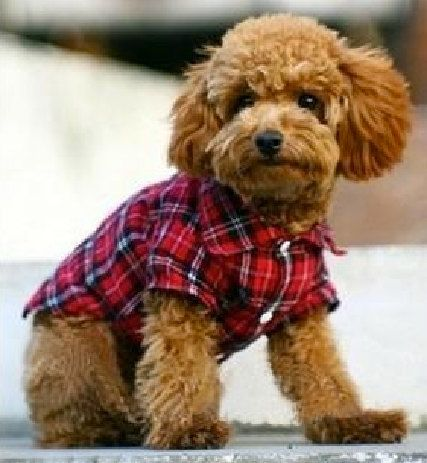 Light bulb, dose! Pet clothes  red checkered shirt by LovebirdDesign on Etsy, $13.00