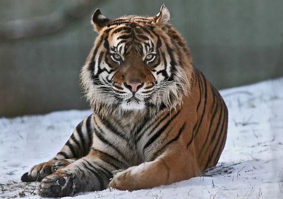 Blickkontakt Foto & Bild | natur, zoo, tiger Bilder auf fotocommunity