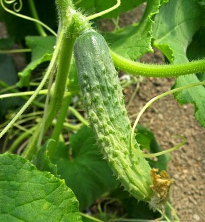 Cultivar en casa pepino