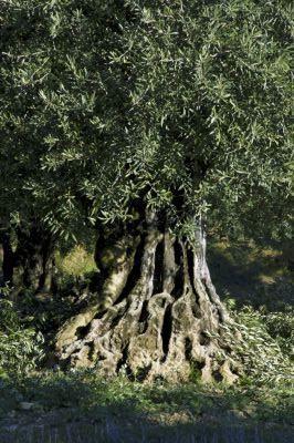 Olive Tree, Provence, France