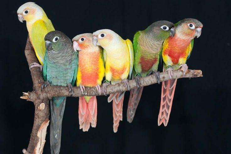 Best 25 Conure Ideas On Pinterest Pet Birds Parakeet