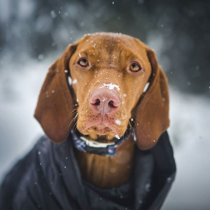 What? Is there something on my nose? The snow has finally come! And dare I say a bit too... all of a sudden? We had planned to go camping and hiking but about 8 feet of snow fell in 2 days so.... change of plans! #weeklyfluff #winterishere #vizslagram