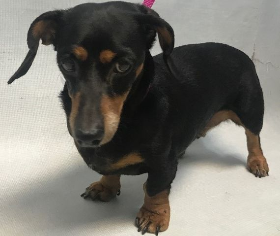 Super Urgent Adorable Dachshund Senior Marisol Id 38270 Is A 13 6 Lbs 11yrs Old Female In Need Of Rescue Or Adoption At B Pet Care Animals Small Dog Breeds