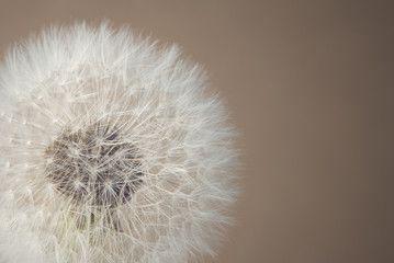 soft dandelion