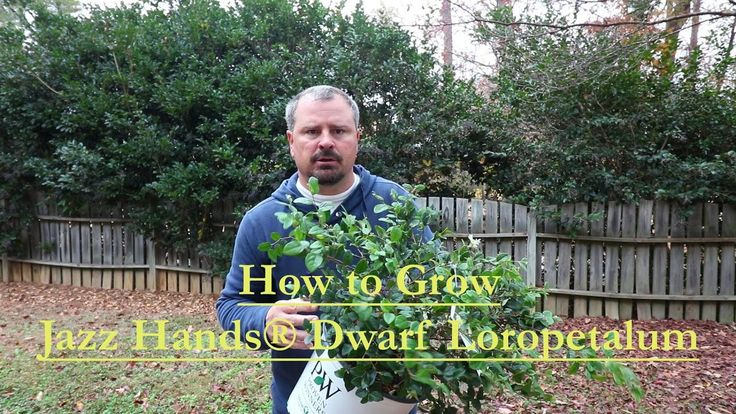 #VR #VRGames #Drone #Gaming How to grow Jazz Hands® Dwarf White Loropetalum with a detailed description chinense, Drone Videos, dwarf loropetalum, Foundation plants, gardening, green foliage, hakuou, horttube, jazz hands, jim putnam, landscaping, loropetalum, patented plant, white flowers #Chinense #DroneVideos #DwarfLoropetalum #FoundationPlants #Gardening #GreenFoliage #Hakuou #Horttube #JazzHands #JimPutnam #Landscaping #Loropetalum #PatentedPlant #WhiteFlowers https:/