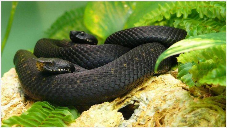 Black Mambas Snake Wallpaper | black mambas snake wallpaper 1080p, black mambas snake wallpaper desktop, black mambas snake wallpaper hd, black mambas snake wallpaper iphone