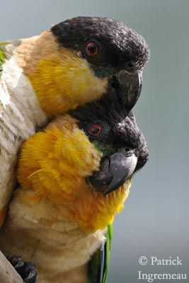 Awww! They look like they're cuddling! (Black-headed Parrots)