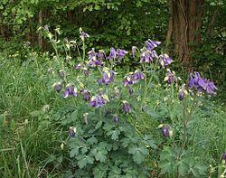 Lehtoakileija  (Aquilegia vulgaris) Saamassani kasvissa ei ollut muuta määritelmää kuin akileija, joten odotellaan, mitä siitä tulee. Linkki wikiin.