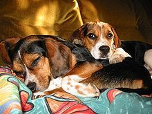 Beagle - We had Sam as kids and I used to love to hear him when he'd treed something.  You really have to love baying to have a Beagle, and tolerant neighbors!