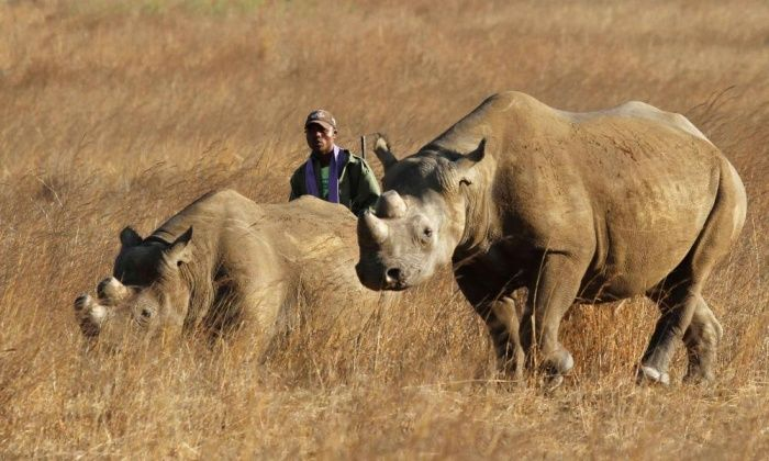 Texas man who won hunting auction to be allowed to import black rhino trophy US Fish and Wildlife Service says importing carcass will benefit conservation Corey Knowlton bid $350,000 to shoot endangered species in Namibia