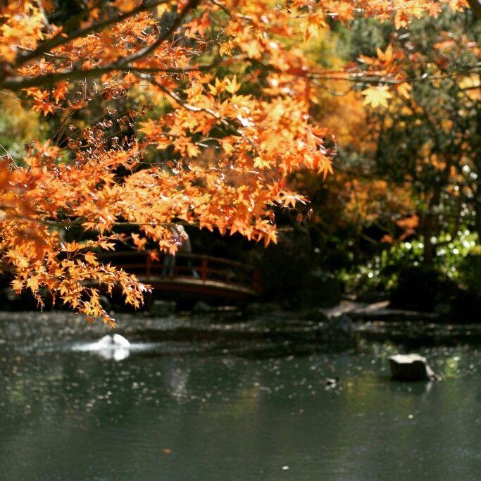 Golden leaves at Auburn Japanese Garden