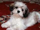 Havanese puppy- we have an all black pure breed, and he's the best dog ever!! Hypo-allergenic, super smart, and great character!