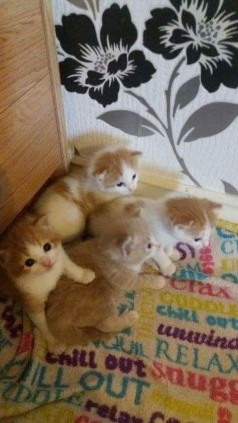 Grey kitten is a female Pure ginger kitten is a female Ginger n white kitten is a female Ginger n